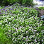 The Dirt on Gardening: Ground cover plays an important role