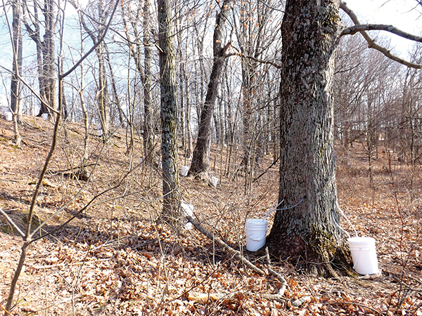 A maple woods being tapped for sap